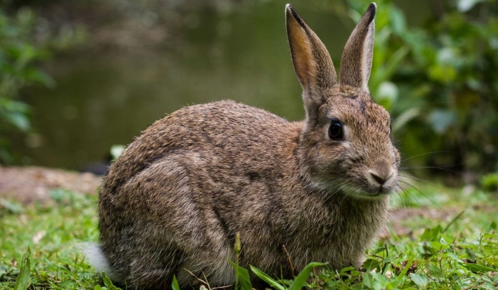 wild rabbit in the garden