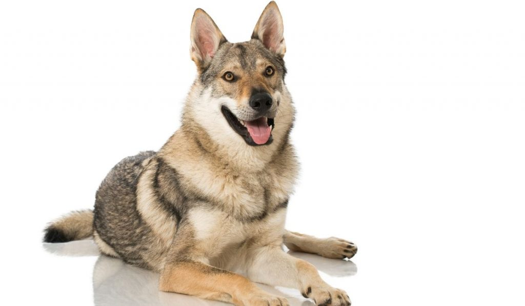 wolf dog with white background