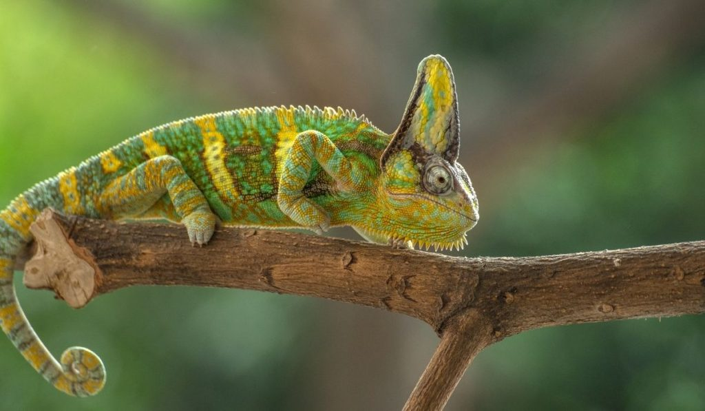 yellow and green veiled chameleon on a branch