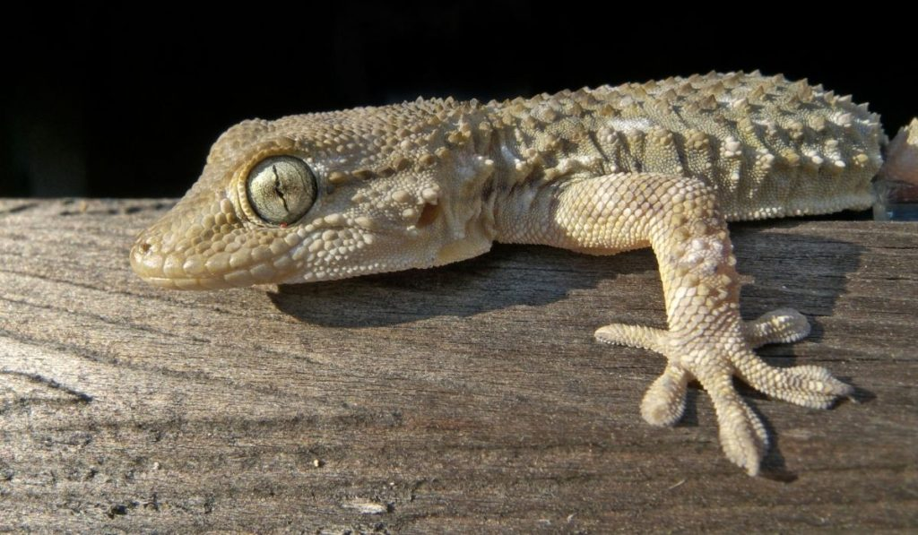 yellowish grey gecko with scaly spikey skin on top of wood
