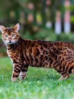 Bengal-Cat