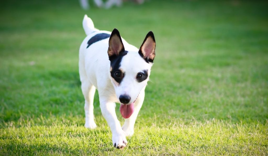 Black and White Jack Russell