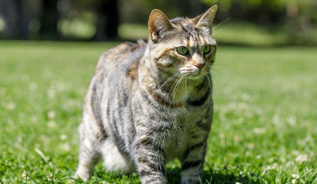 Brindle American Bobtail Cat