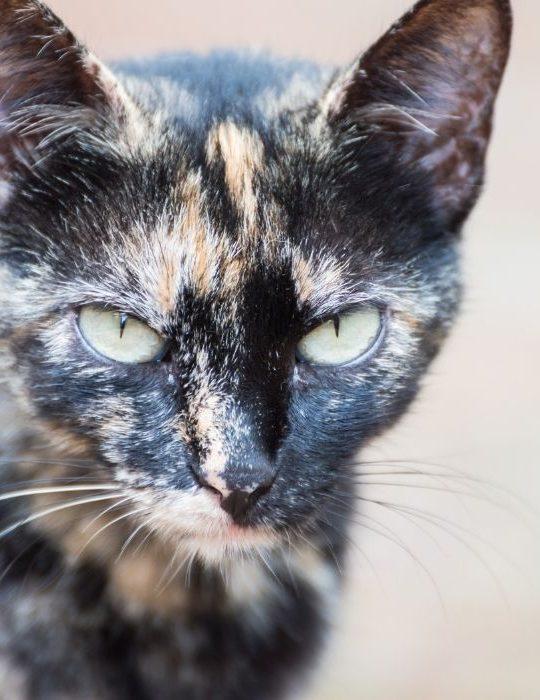 Brindle-Cat-Looking