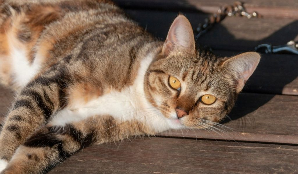 Brindle Cat Lying On Wooden Table