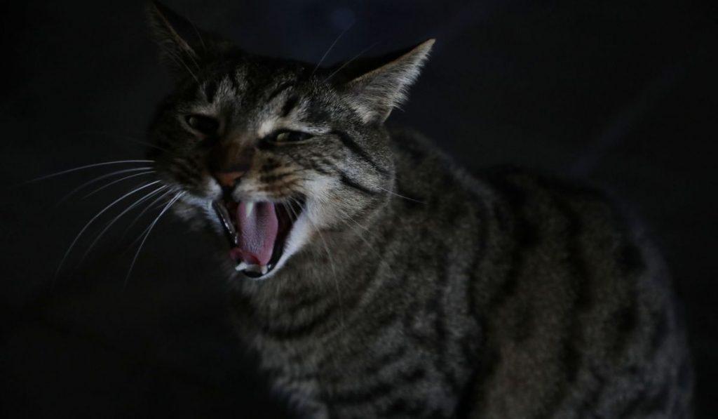 Brindle-Cats