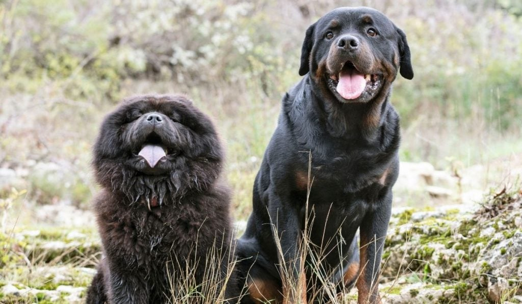 Chow Chow and Rottweiler
