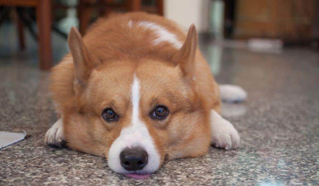 Corgi Dog Laying In Floor