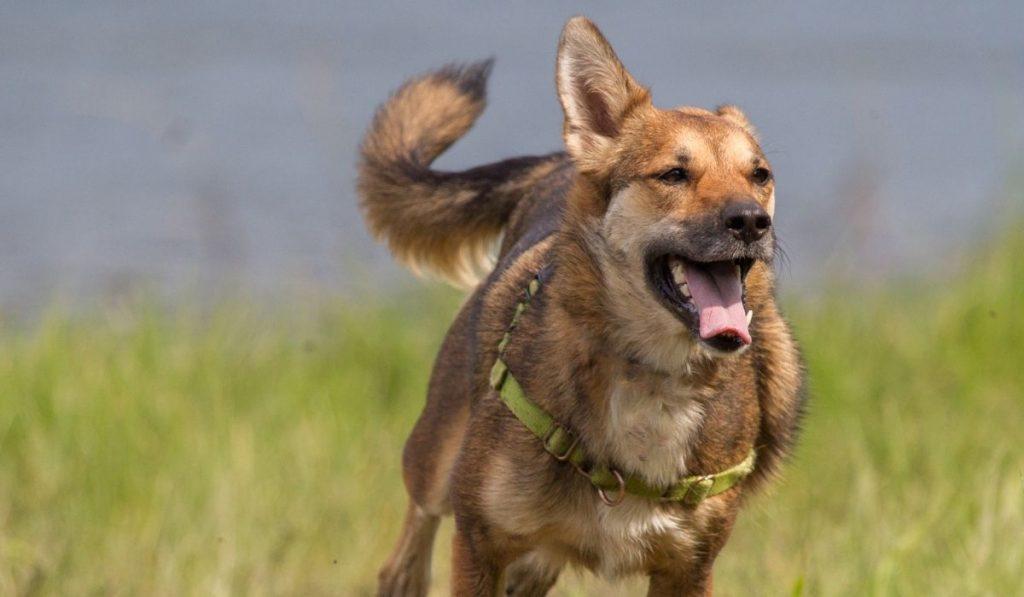 Coyote Dog Running