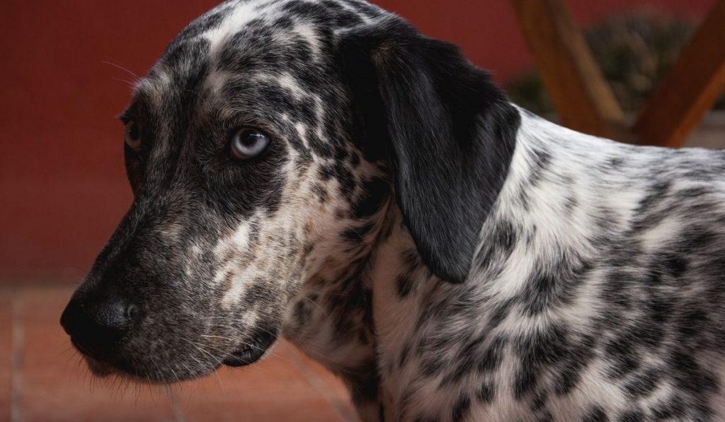 Dalmatian blue eye