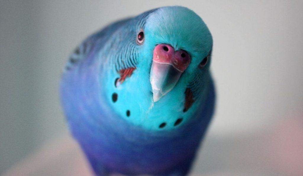Ice Blue Parakeet