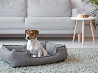Jack-Russell-Alone-in-Living-Room