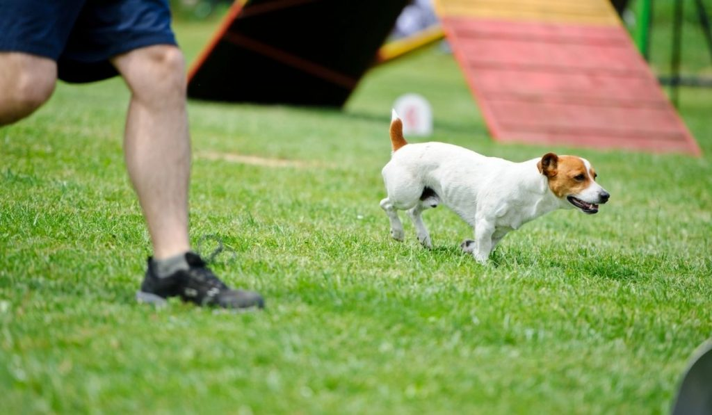 Jack Russell Exercising