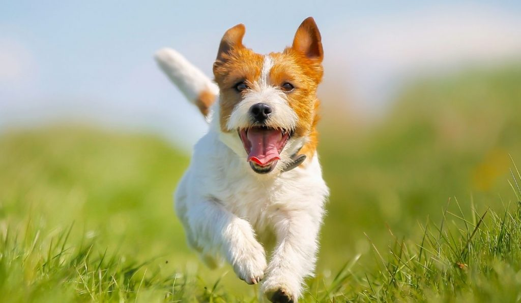 Jack-Russell-Running-in-Grass-Field