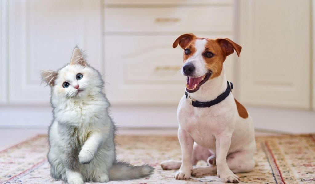 Jack Russell and Cat
