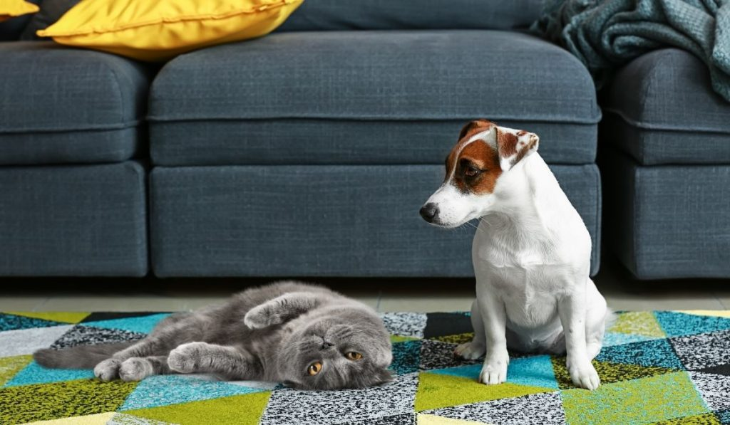 Jack-Russell-and-Gray-Cat