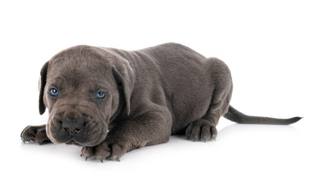 Mastiff Blue Eye