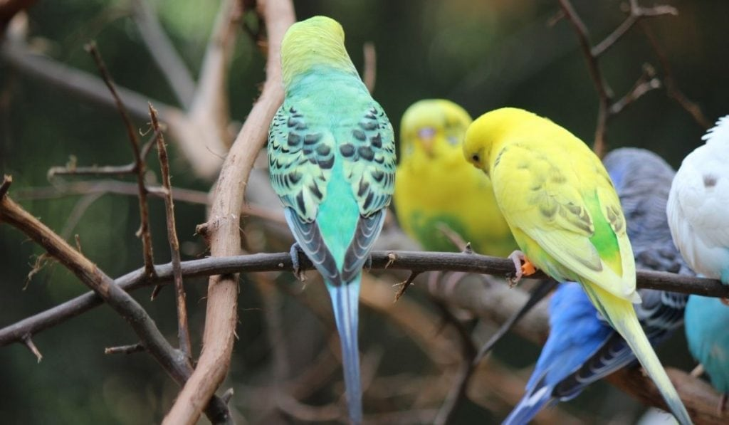 Parakeet Puffs On Top Of Branches