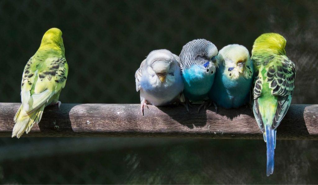 Sick Parakeet
