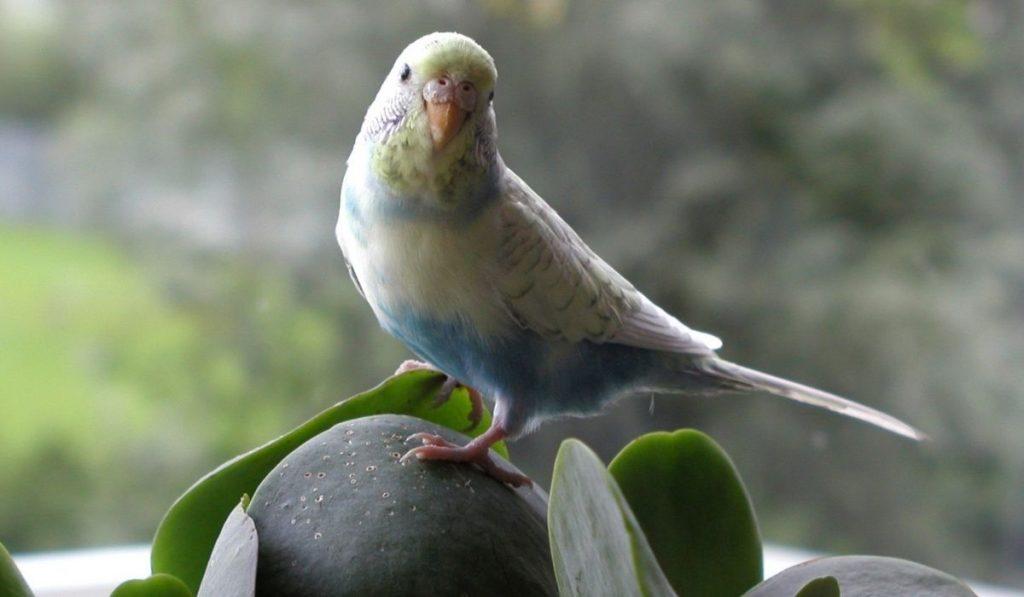 Sleepy Parakeet