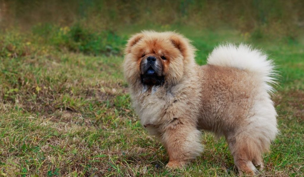 The Chow Breed