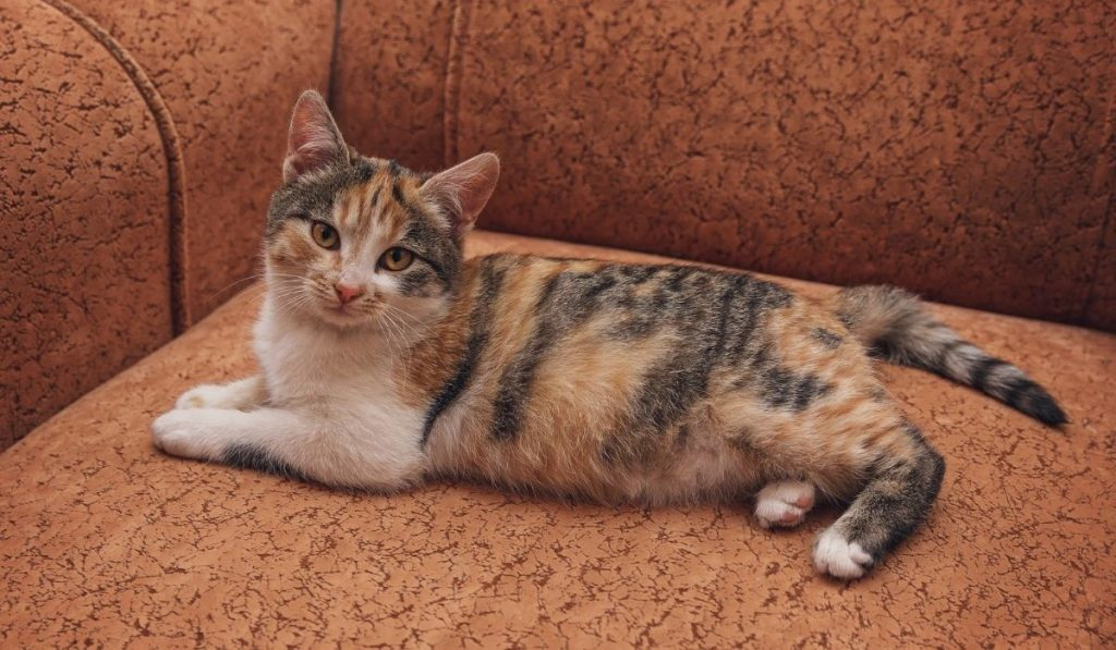 Young Brindle Cat Lying On the Sofa