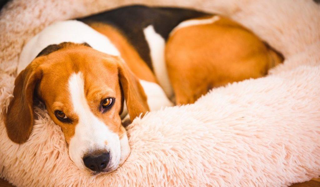 beagle dog resting on a dog bed