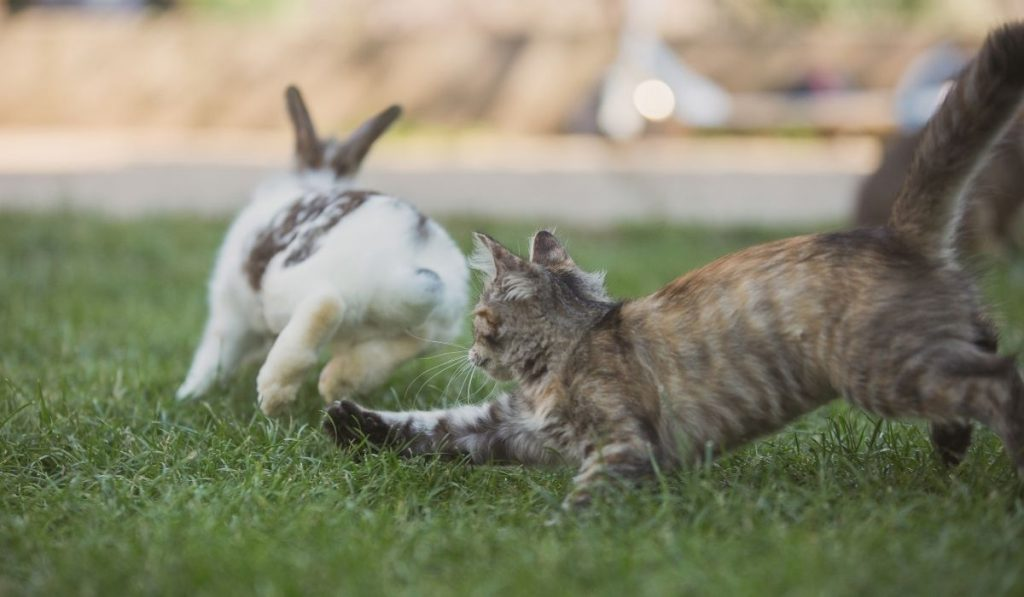 cat attacking the rabbit