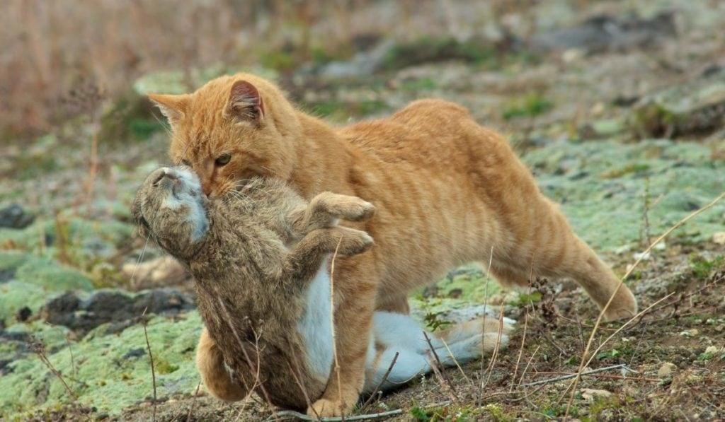 cat catches a wild rabbit