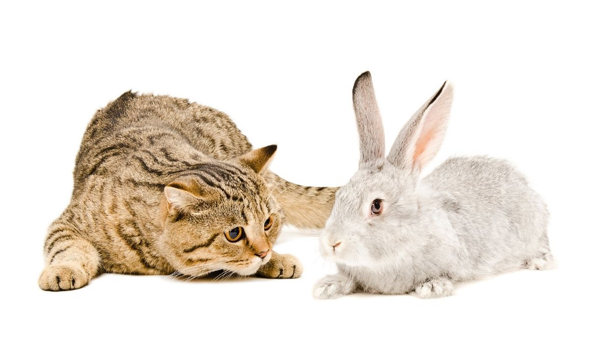 cat planning to attack a rabbit