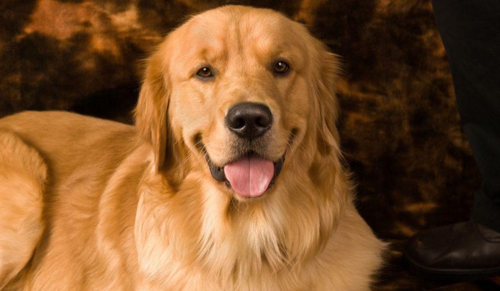 close up photo of Golden Retriever