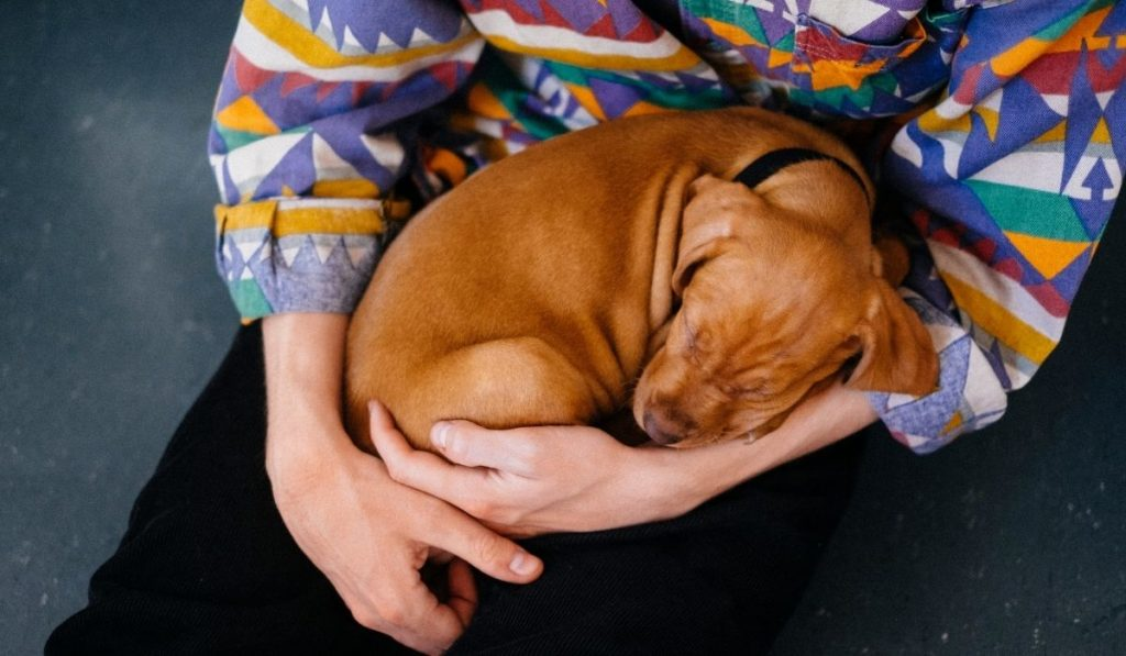 comfy dog sleeping on his owner's lap