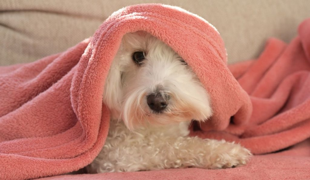cute dog under a pink blanket
