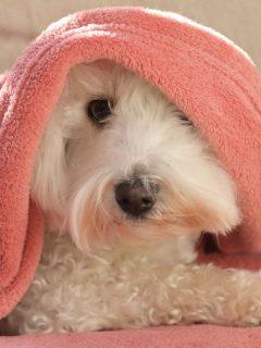 cute dog under a pink blanket