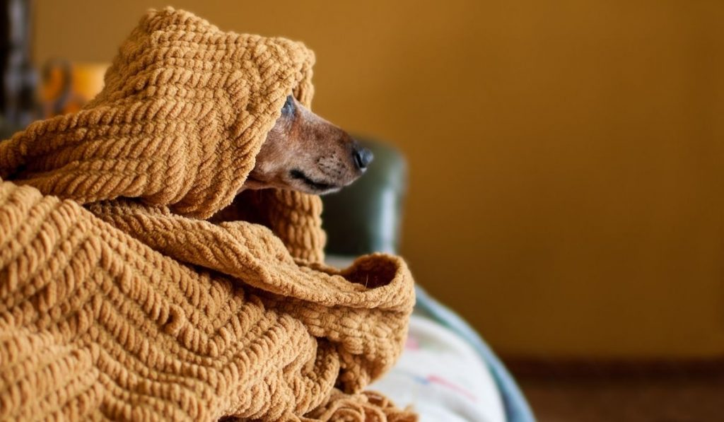dog under a brown blanket