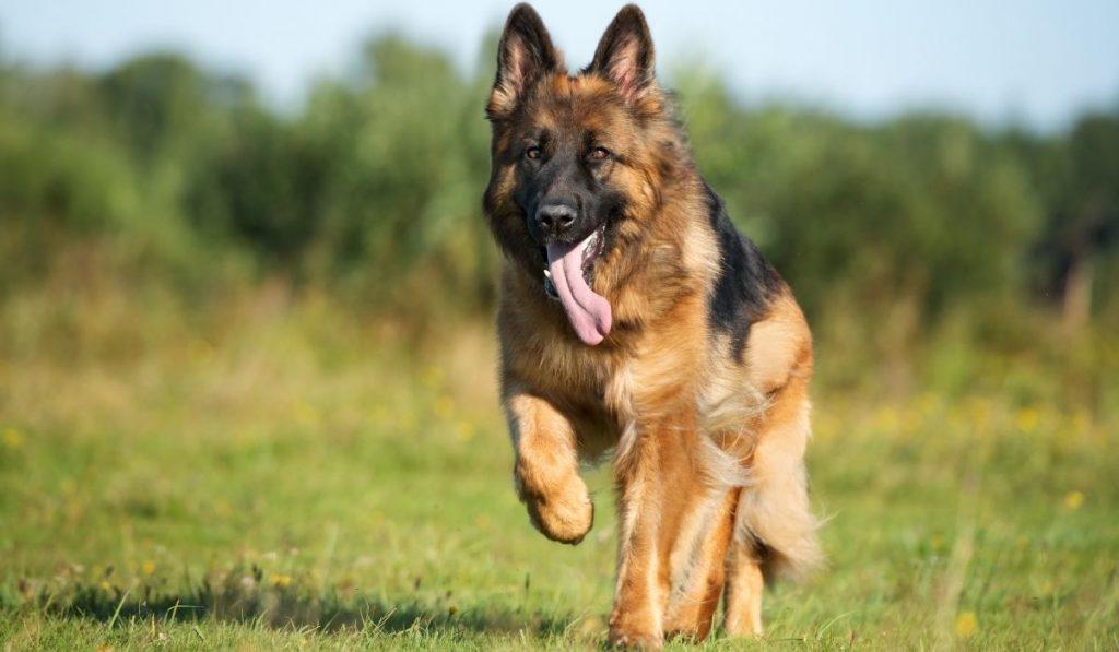 german shepherd running in the field