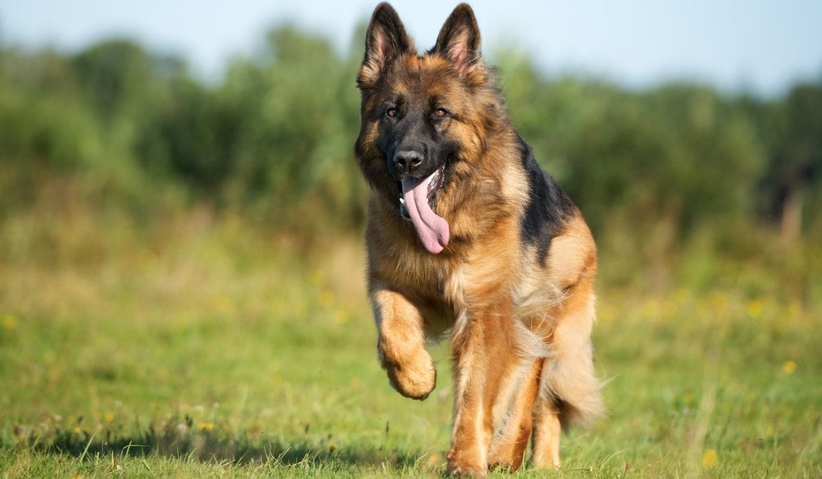 german shepherd running in the field
