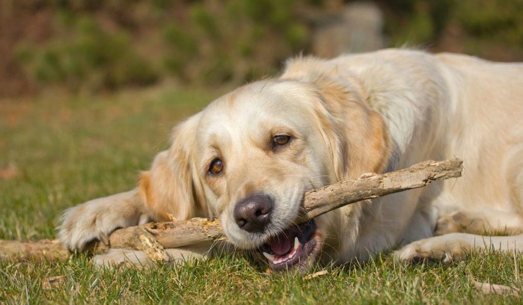 golden retriever biting a tree branch