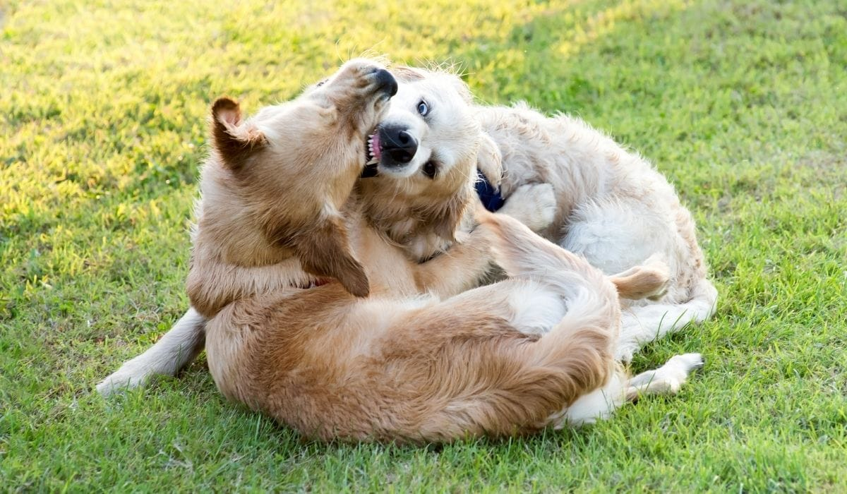 golden retrievers playing and biting each other