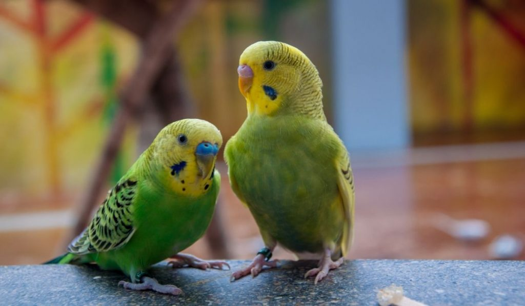 green and yellow parakeets