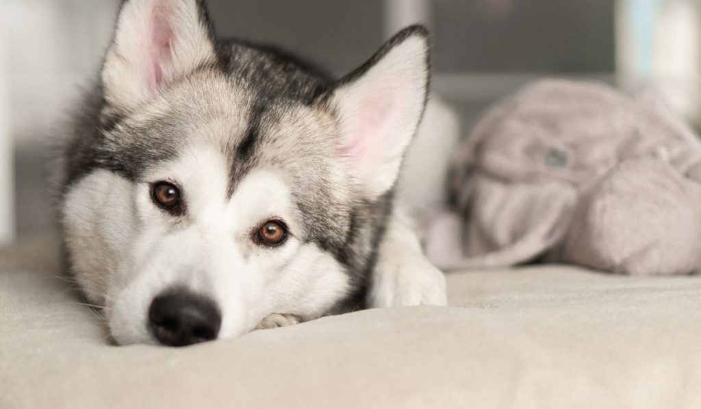 husky lazy in bed
