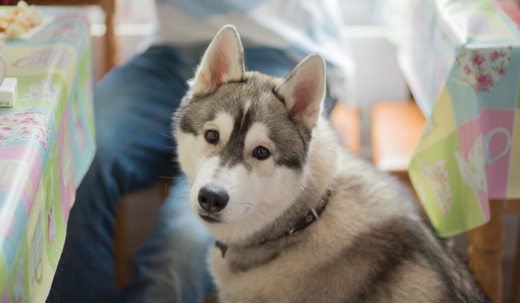 husky standing beside the dining table
