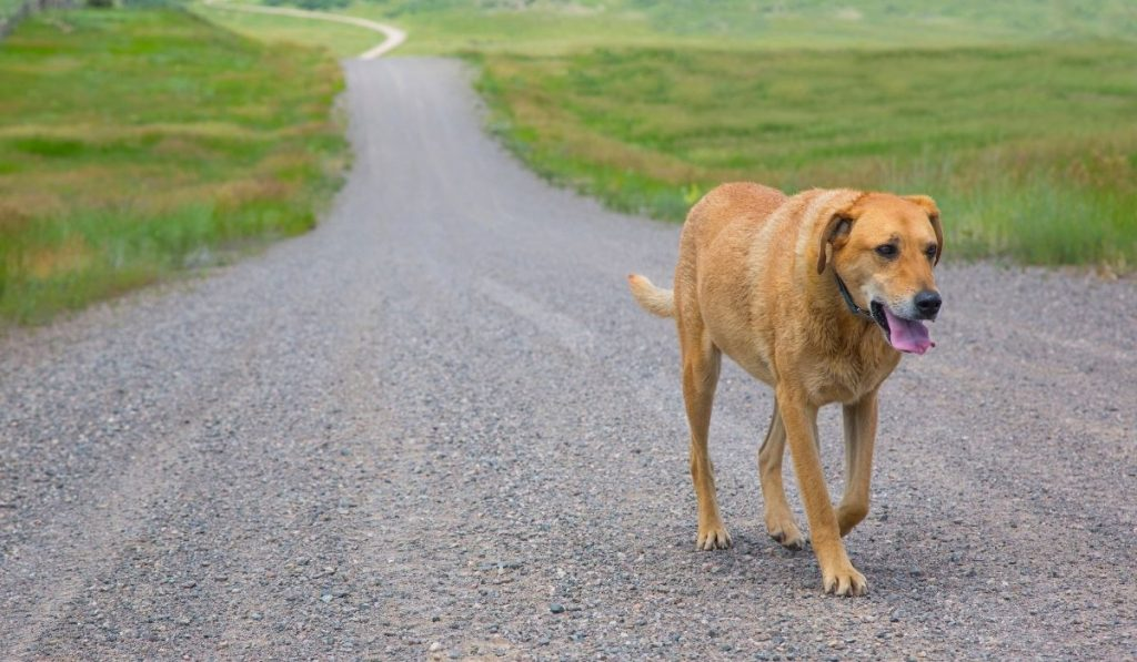 lost dog walking on the road alone