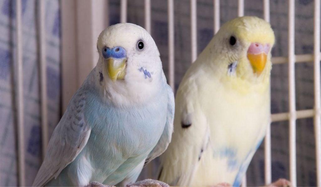 partners parakeets