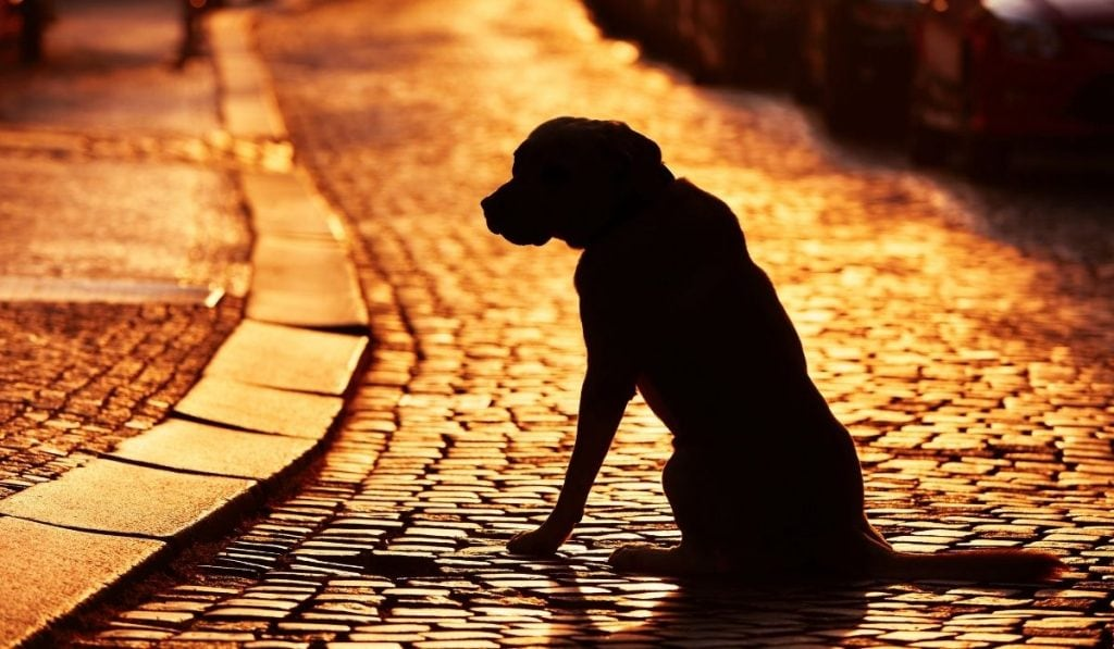 silhouette of lost dog