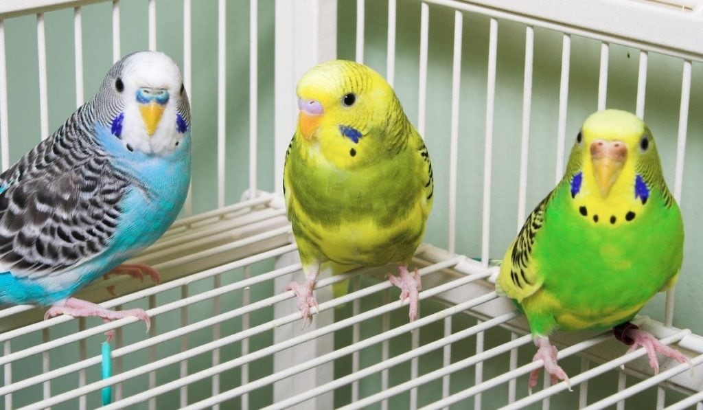 three parakeets in the cage