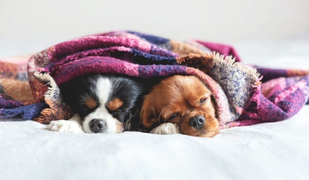 two dogs sleeping under one blanket