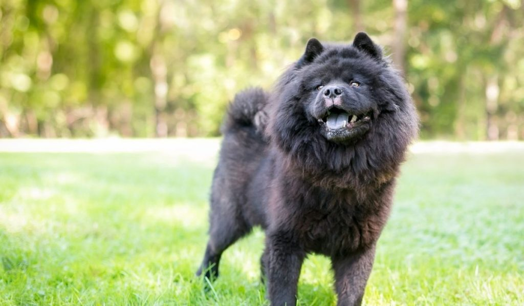 Black Chow Chow Dog
