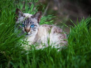 Cat-With-Blue-Eyes