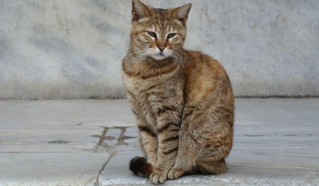 Turkish Angola Cat